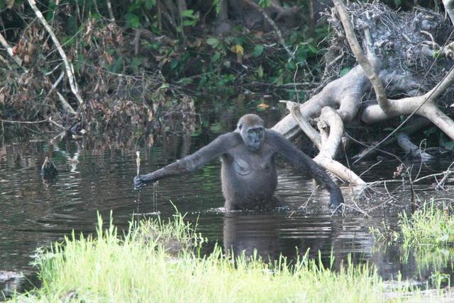 Gorilla-Weibchen geht im Wasser